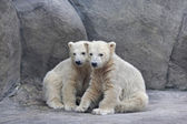 Brotherhood of polar bear cubs — Foto Stock