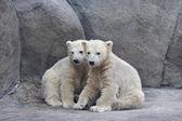 Brotherhood of polar bear cubs — Stock Photo