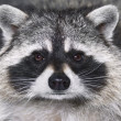 Stock Photo: Eye to eye with racoon