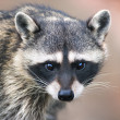 Awaking look of a racoon — Photo