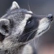 Curiosity of a racoon — Stock Photo