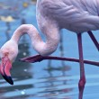 Pink flamingo is searching food — Stock Photo