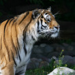 Side face portrait of a Siberian tiger — Stock Photo #23905885
