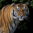 Stare of a severe Siberian Tiger - Stock Photo