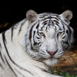 Menacing stare of a white bengal tiger — Stock Photo