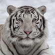 Stare of a white bengal tiger, lying on snow. - Stock Photo