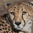 Stock Photo: Sunlit cheetah
