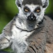 Sunbathing ring-tailed lemur — Stock Photo