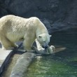 animal ternura na família do urso polar — Foto Stock