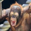 milk teeth of a young orangutan — Stock Photo #23907395