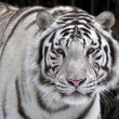 Glance of a passing by white bengal tiger — Stock Photo