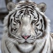 Face to face with white bengal tiger — Stock Photo #23907473