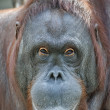 Orangutan female portrait - Stock Photo