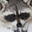 Stock Photo: Eye portrait of racoon