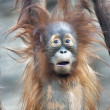 Astonished young orangutan — Stock Photo