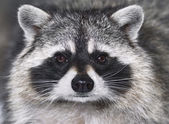 Eye to eye with racoon — Stockfoto