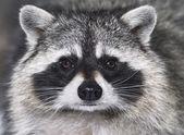 öga mot öga med racoon — Stockfoto