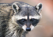 Awaking look of a racoon — Stock Photo