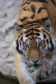 Eye to eye with a dreadful Siberian tiger — Stock Photo