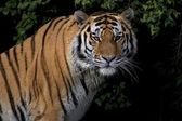 Stare of a severe Siberian Tiger — Stock Photo