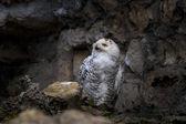 Pohled sněžná sova — Stock fotografie