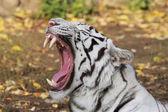 A yawning white bengal tiger — Stock Photo