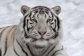 Stare of a white bengal tiger, lying on snow. — Stock Photo
