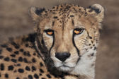 Sunlit cheetah — Stock Photo