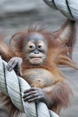 A young orangutan after square meal — Stock Photo