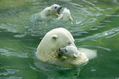 A family of polar bears in the pool — Stock Photo