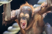 Milk teeth of a young orangutan — Stock Photo