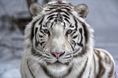 Face to face with white bengal tiger — Стоковое фото