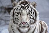 Oog in oog met witte bengaalse tijger — Stockfoto