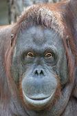 Orangutan female portrait — Stock Photo