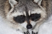 Eye portrait of a racoon — Stock Photo
