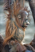 Astonished young orangutan, profile — Stock Photo