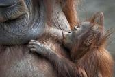 Orangutan mother and her baby. Foody kiss of an orangutan sucker. — Stock Photo