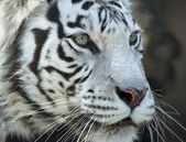 Close up portrait of a severe white bengal tiger — Stock Photo