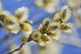 Solbelysta blossom willow på blå himmel — Stockfoto