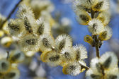 Willow blossom on blue background — Stock Photo