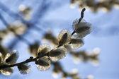 可爱开花的柳树 — 图库照片