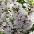 Lovely blossom of nanking cherry — Stockfoto