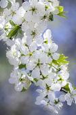 Cherry blossom on a sunny May day — Stock Photo