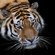 Top face portrait of a Siberian tiger on black background. Wild beauty of the most dangerous and mighty beast. Menacing stare of severe raptor. — Stock Photo