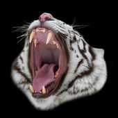 A white bengal tiger shows dentist his teeth. Closeup portrait of a big wild cat, isolated on black background. Natural weapon of dangerous beast. — Stock Photo
