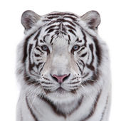 Eye to eye with a young white bengal tiger. Closeup portrait of a wild big cat, isolated on white background. The head of a beautiful and dangerous beast. — Stock Photo