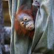 Hide and seek of an orangutan baby in canvas — Stock Photo