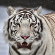 A white bengal tiger with open chaps among falling snowflakes. — Stock Photo