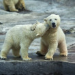 Sibling kiss on the neck of a polar bear baby. — Stock Photo