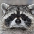 A macro portrait of a racoon with wet black nose. — Stock Photo
